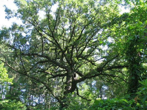 Giant Oak, Theo Wirth Park, Minneapolis, Minnesota, July 2005, photo by Skywire, all rights reserved