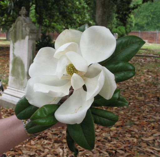 Ameila's Magnolia, June 3rd, 2007, Magnolia Cemetery, photo © 2007 by QuoinMonkey. All rights reserved.