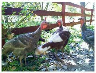Turkey Greeting#4