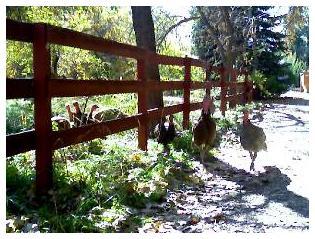 Turkeys Greeting#1