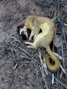 Bridled weasel, found in the bosque dead, photo © 2009 by Linda W. Lupowitz, all rights reserved