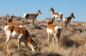 Pronghorns. Not the deer I saw in the foothills, but slow walking got me close to these pronghorn antelope in the Petrified Forest in Arizona earlier this year. January 2009, photo © 2009 by Lesley Goddin. All rights reserved.