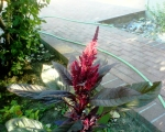 Garden Is Growing, photo of the amaranth that Em took and sent me via her cell phone, photo © 2009 by Em, all rights reserved